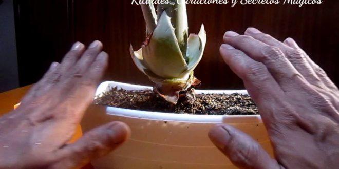 Aceite Esencial Aloe Vera Mágico y rituales