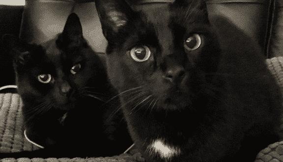 Gatos negros, enigmáticos e incomprendidos