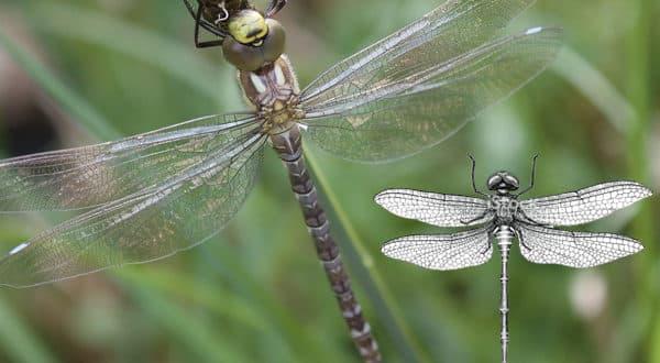 Simbología de la libélula