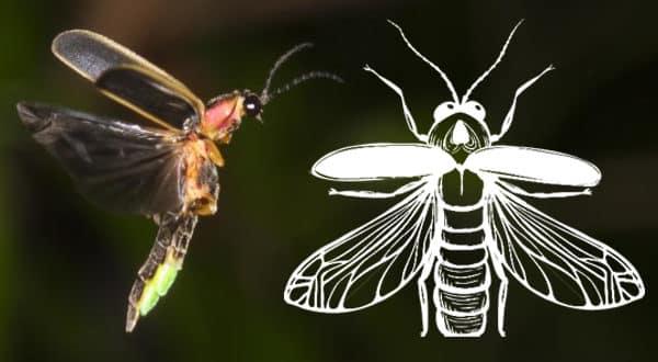 Simbología de las luciérnagas