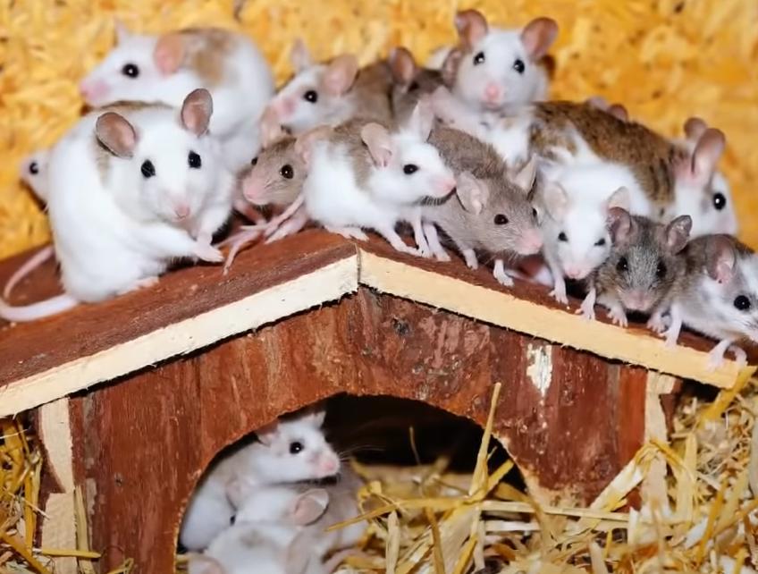 muchas ratas