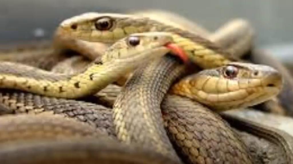 muchas serpientes